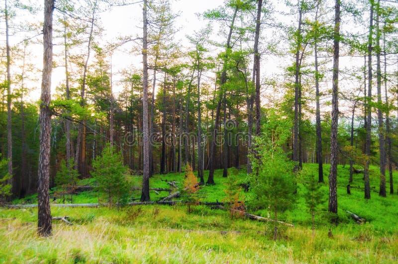 与杉木林木的森林风景在山坡 山森林夏天自然场面 图库摄影