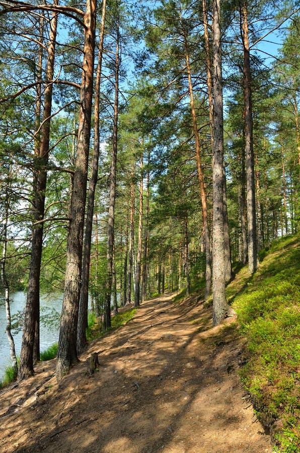 与杉木森林的风景 免版税库存图片