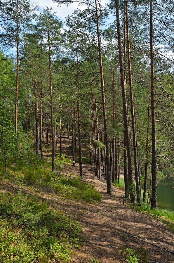 与杉木森林的风景 库存照片