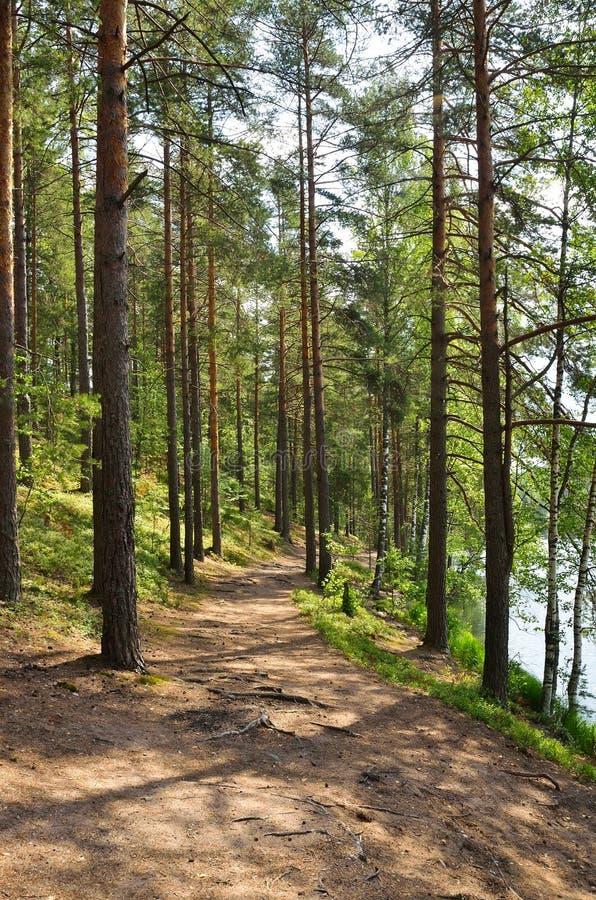 与杉木森林的风景 库存图片