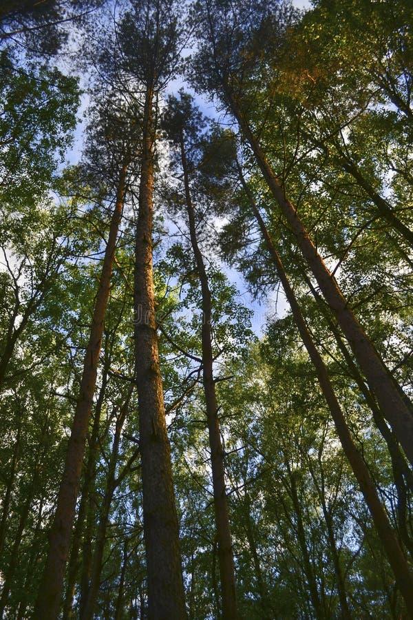 与杉木的风景在森林里 免版税库存图片