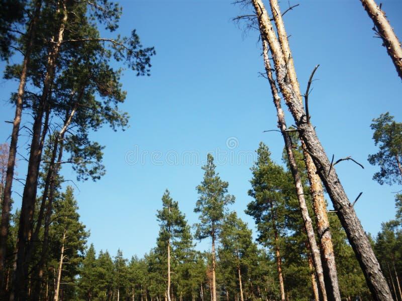 与杉木的风景 杉木森林美丽的天空蔚蓝 免版税库存照片