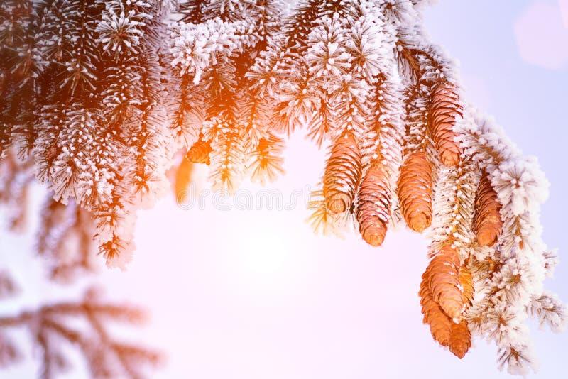 与杉木锥体和雪剥落-寒假背景的冷杉分支 日落 免版税图库摄影