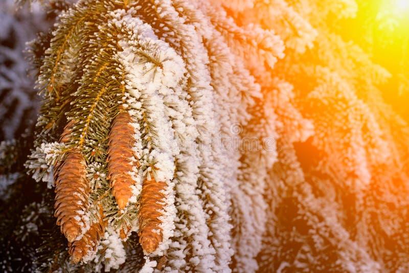 与杉木锥体和雪剥落-寒假背景的冷杉分支 日落 库存图片
