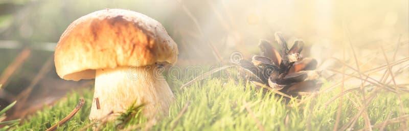 与杉木锥体的蘑菇在秋天森林场面 接近的蘑菇 森林场面用蘑菇 蘑菇狩猎 地区莫斯科一幅全景 免版税库存图片