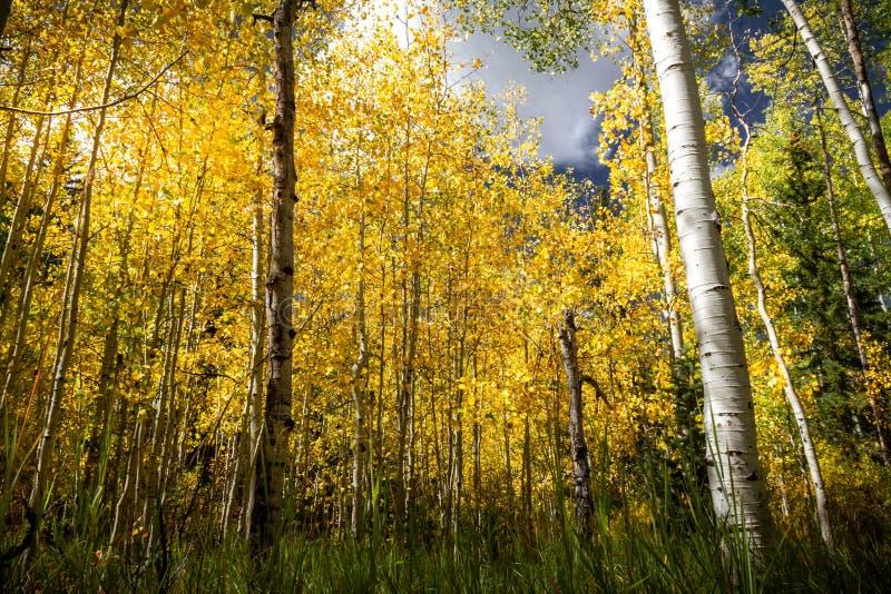 与杉树、白杨木和桦树的华美的明亮的秋天森林场面 免版税库存照片