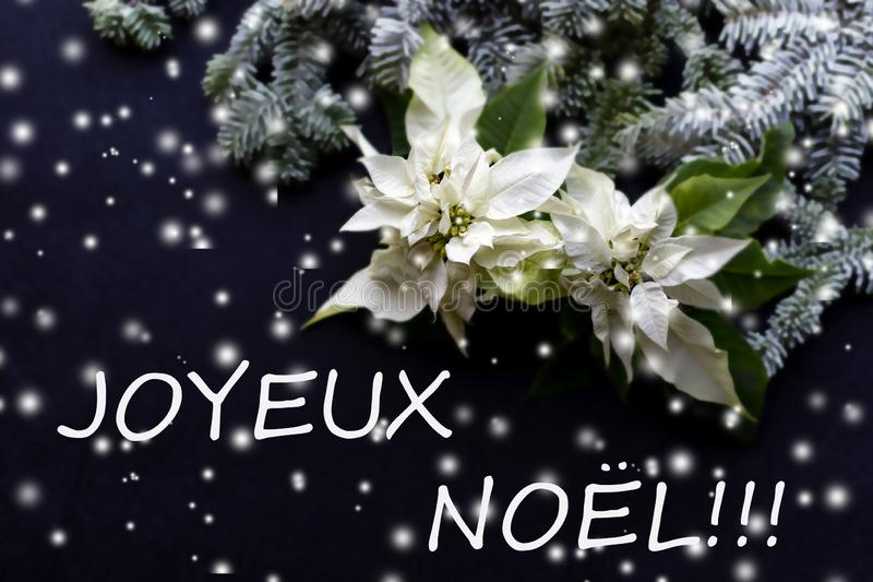 与杉树的白色一品红在黑暗的背景的花和雪 典雅的明信片 看板卡圣诞节问候在上写字快活 christmastime 库存例证
