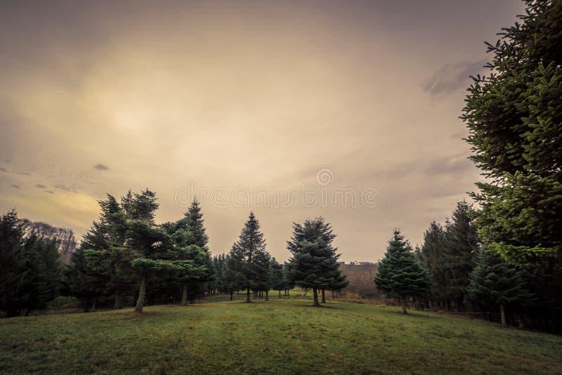 与杉树的风景在黎明 免版税库存照片