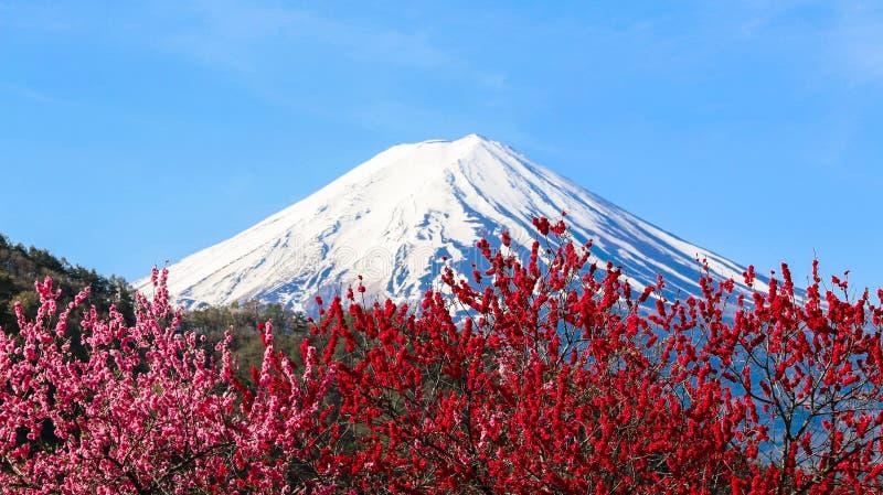 与李子开花的Mt富士 图库摄影