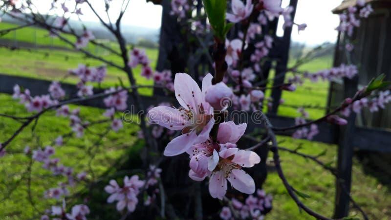 与杏子花的照片 免版税库存图片
