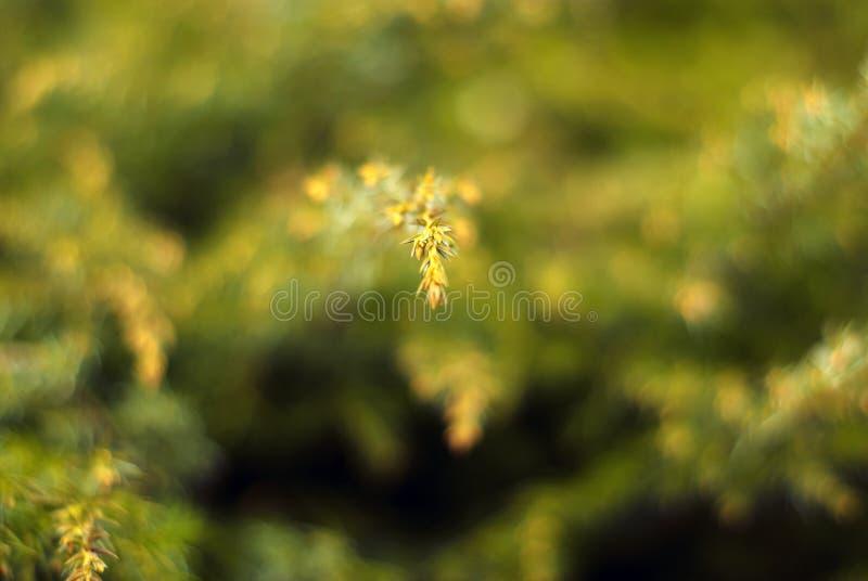 与杜松小树枝的被弄脏的绿色花卉背景  免版税库存照片