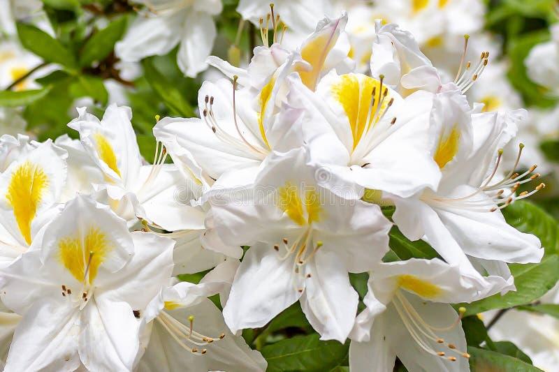 与杜鹃花的黄色花的美好的白色在日本庭院里在公园Clingendael,海牙 免版税图库摄影