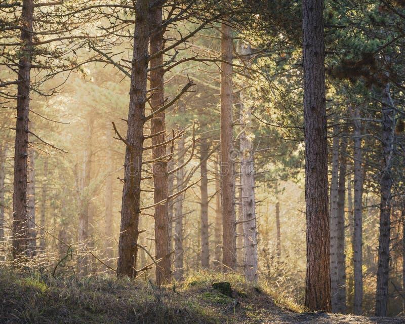 与来通过杉木森林的太阳的清早步行 免版税库存照片