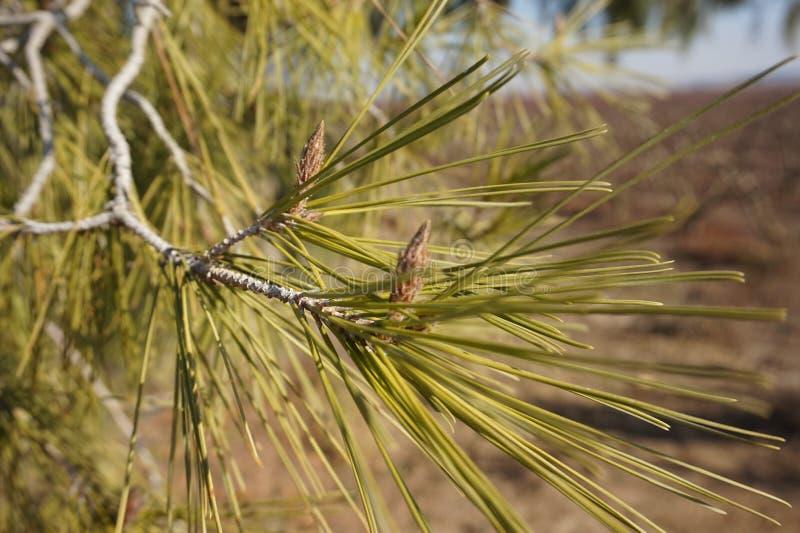 与松果西班牙的杉树 免版税库存照片