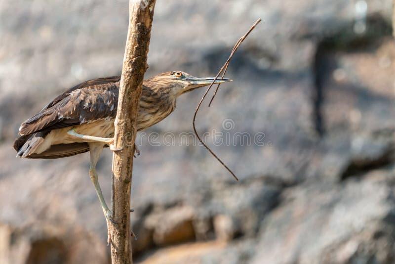 与枝杈的少年黑被加冠的夜鹭属在额嘴 免版税库存图片