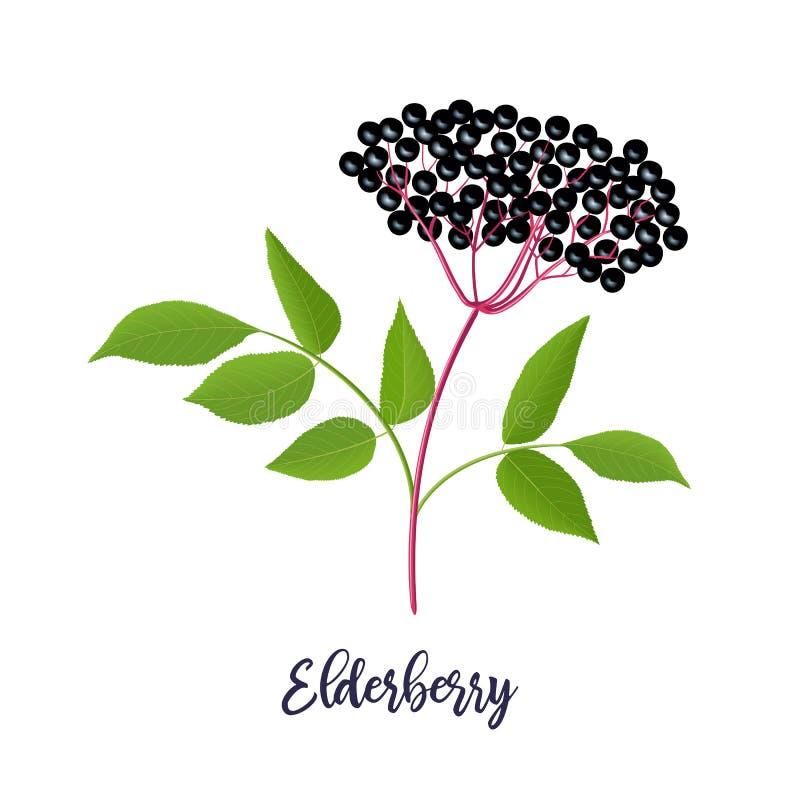 与枝杈,莓果,叶子的成熟黑接骨木浆果 接骨木花 黑更旧的植物,欧洲长辈,欧洲接骨木浆果 向量例证