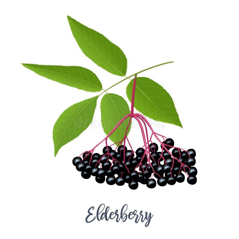 与枝杈,莓果,叶子的黑接骨木浆果 接骨木花 黑更旧的植物,欧洲长辈,欧洲接骨木浆果 ?? 皇族释放例证