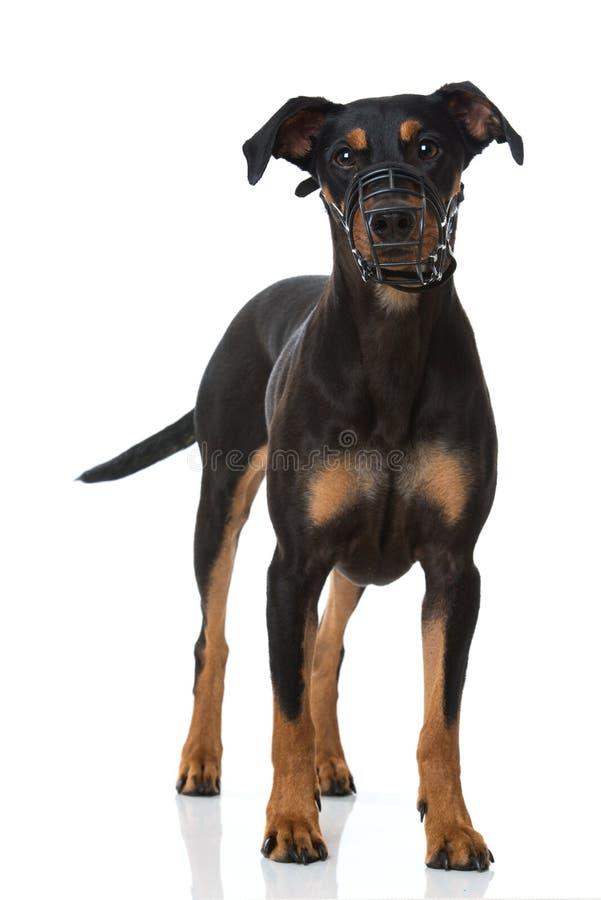 与枪口的短毛猎犬狗在白色背景 免版税库存照片