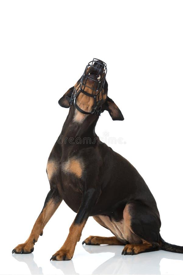 与枪口的短毛猎犬狗在白色背景 库存照片