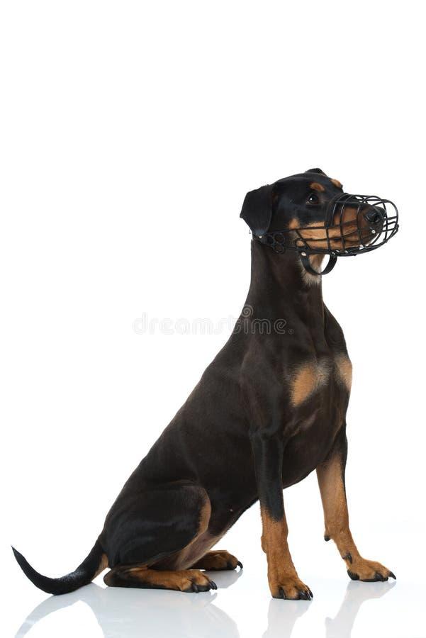 与枪口的短毛猎犬狗在白色背景 免版税库存图片