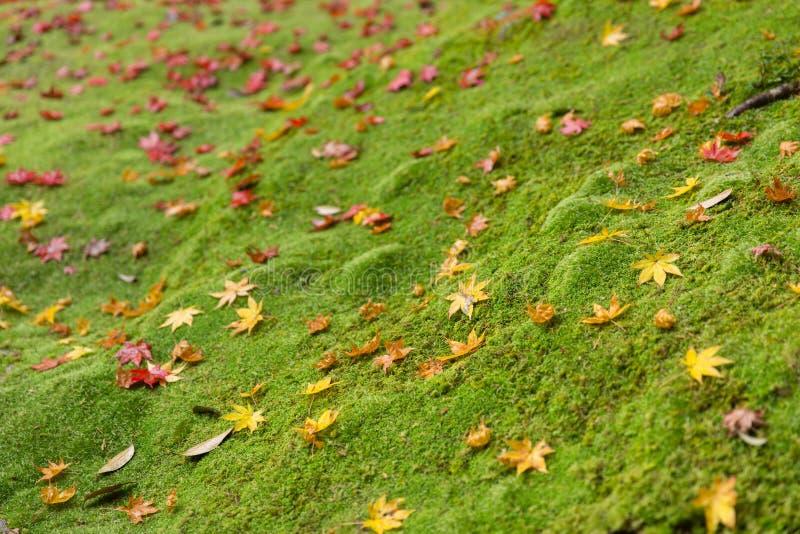 与枫叶下落雨林地面的绿色青苔 免版税库存照片