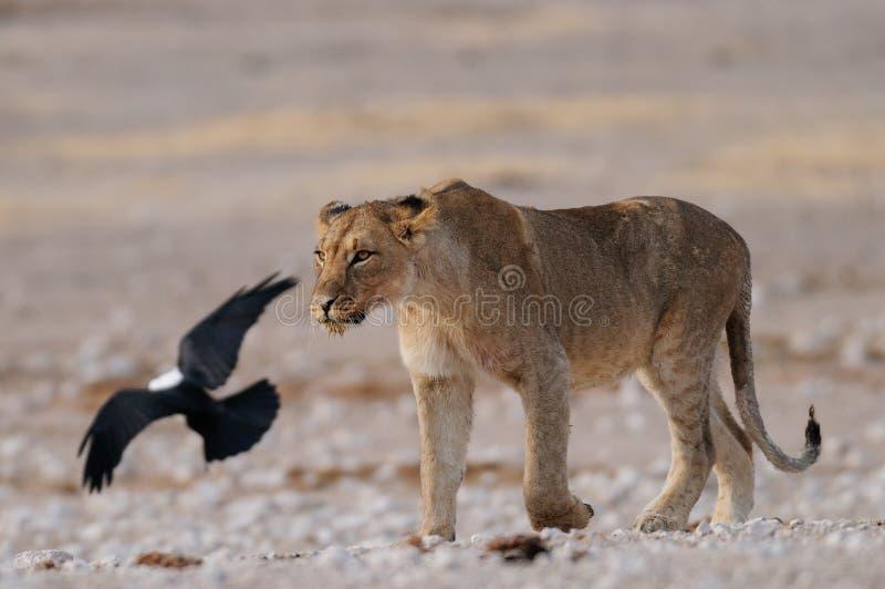 与染色乌鸦, etosha nationalpark,纳米比亚的狮子 库存图片