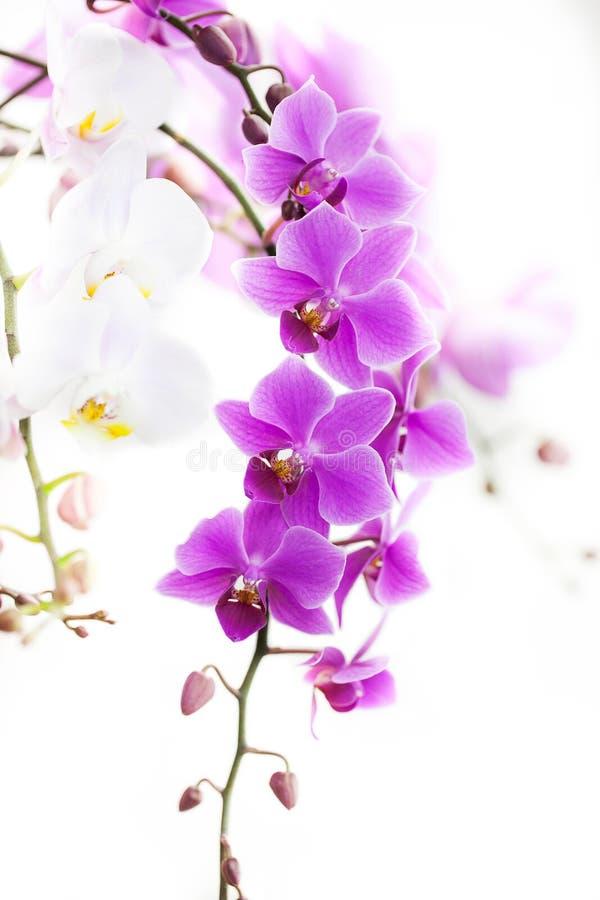 与柔光的紫色石斛兰属兰花 免版税图库摄影