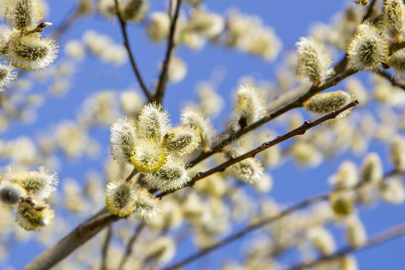 与柔荑花的杨柳分支,传统复活节标志在东正教,春天背景里 免版税库存图片