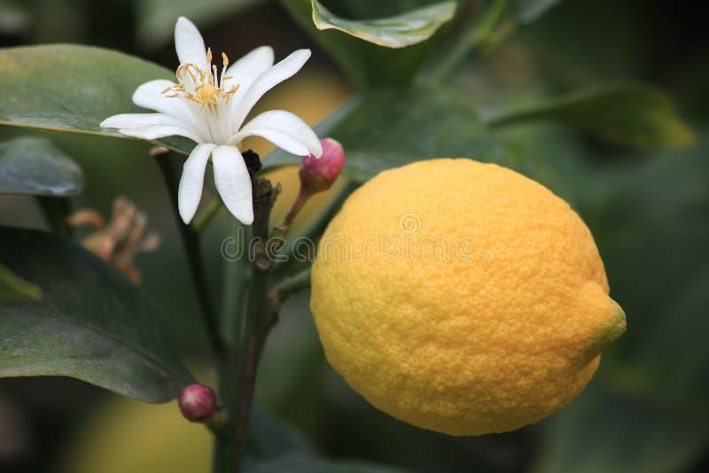 与柠檬开花的新鲜的柠檬 免版税库存照片