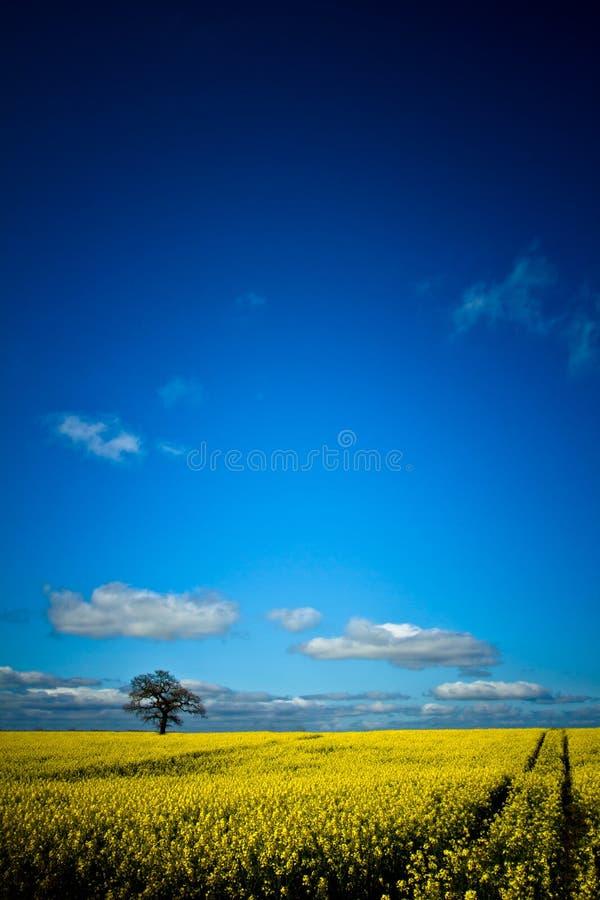 与树、道路和云彩朱利安区域的油菜籽领域 免版税库存照片