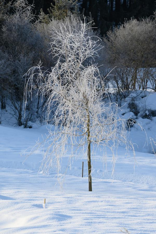 与树冰的垂柳树在垂悬的分支和枝杈 图库摄影