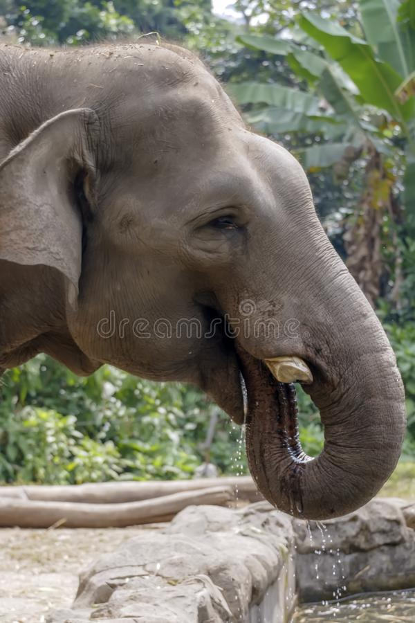 与树干的大象饮用水 免版税图库摄影