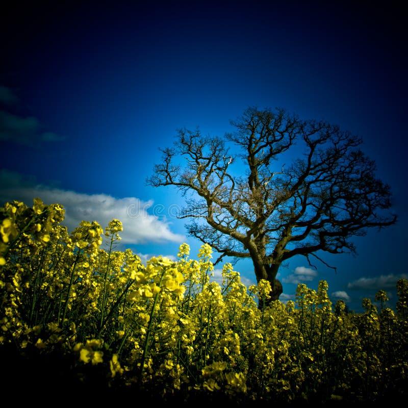 与树朱利安区域的油菜籽领域 库存图片