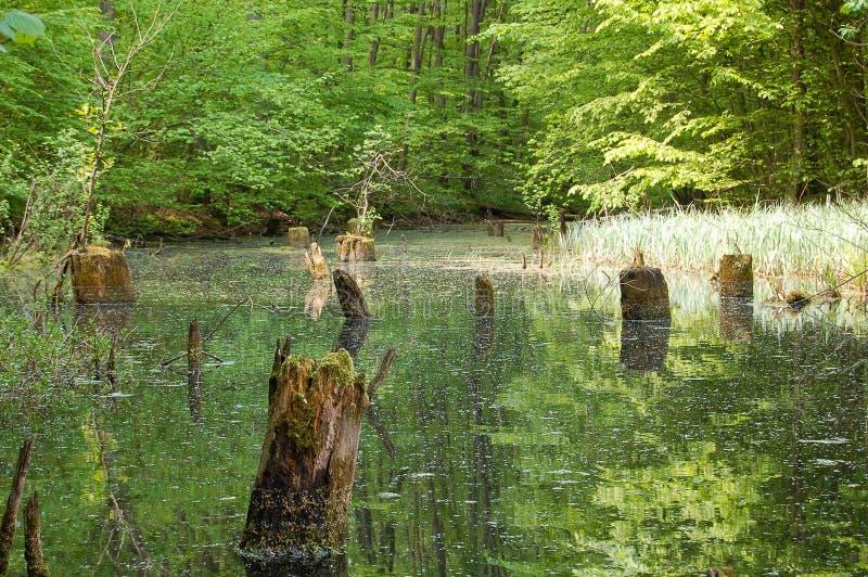 与树桩的沼泽 免版税库存图片