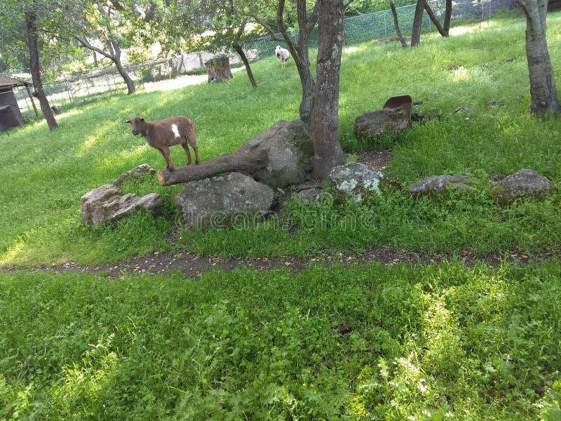 与树的和谐山羊一 免版税库存照片