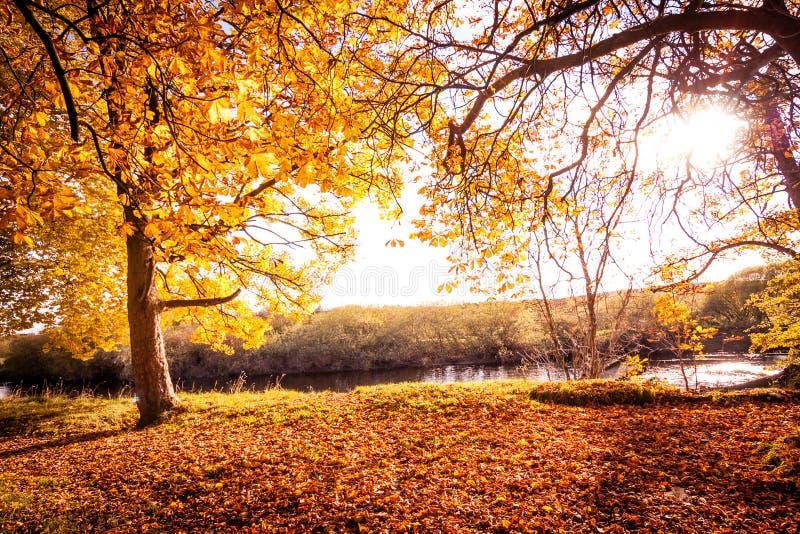 与树的美好,金黄秋天风景和金黄叶子在阳光下在苏格兰 免版税库存照片