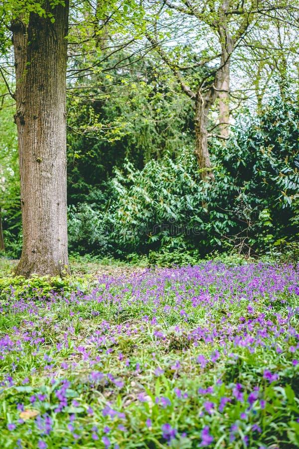 与树的豪华的森林风景在紫罗兰色会开蓝色钟形花的草花中 库存照片