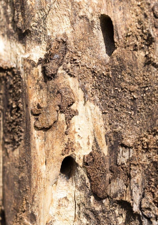 与树皮甲虫的老树干 库存图片