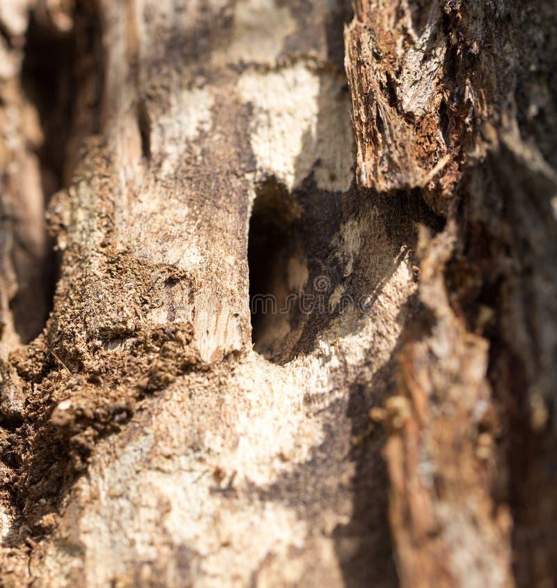 与树皮甲虫的老树干 免版税图库摄影