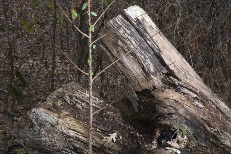 与树苗的下落的树 库存图片