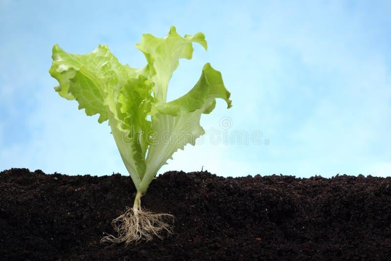 与根的莴苣图象在土壤 免版税库存图片