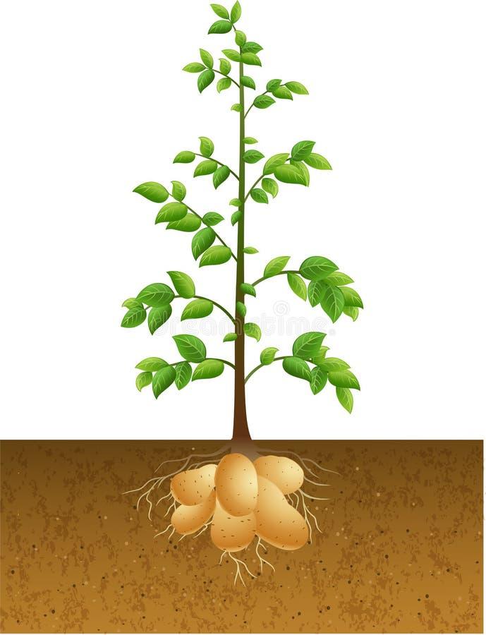 与根的土豆植物在地面下 向量例证