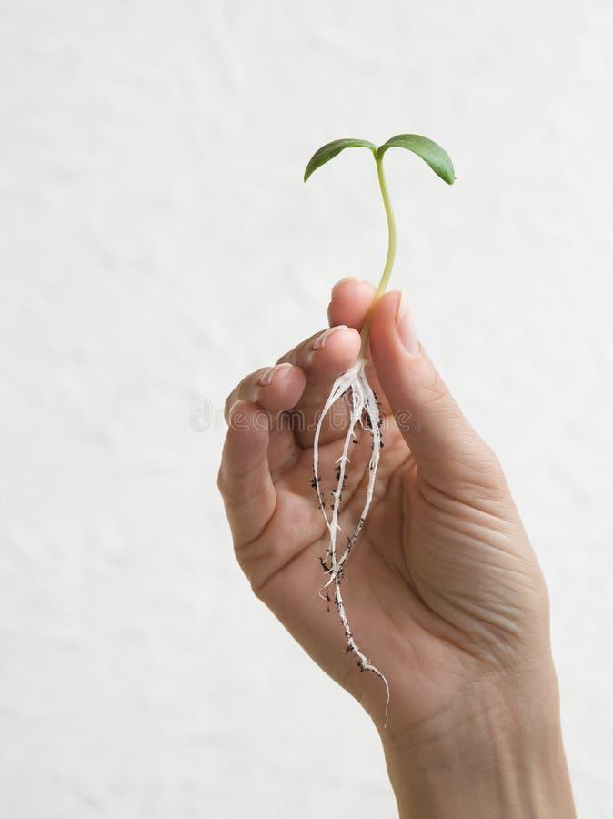 与根的新芽在手中 ?? 库存照片