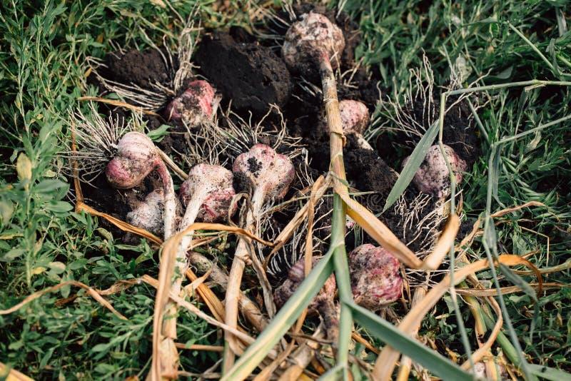 与根的新鲜的大蒜从庭院背景 图库摄影