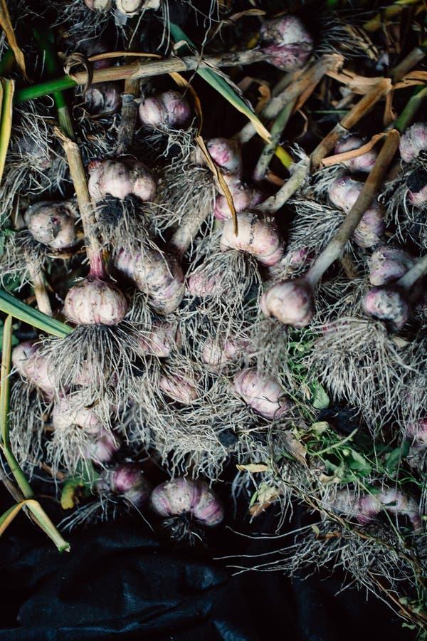 与根的新鲜的大蒜从庭院背景 免版税库存照片