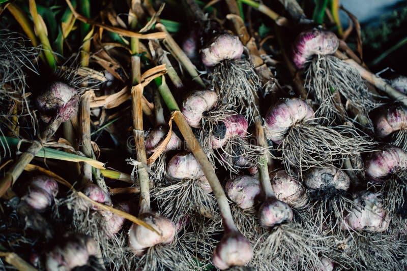 与根的新鲜的大蒜从庭院背景 库存照片
