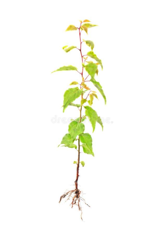 与根的杏子年轻树 免版税库存图片