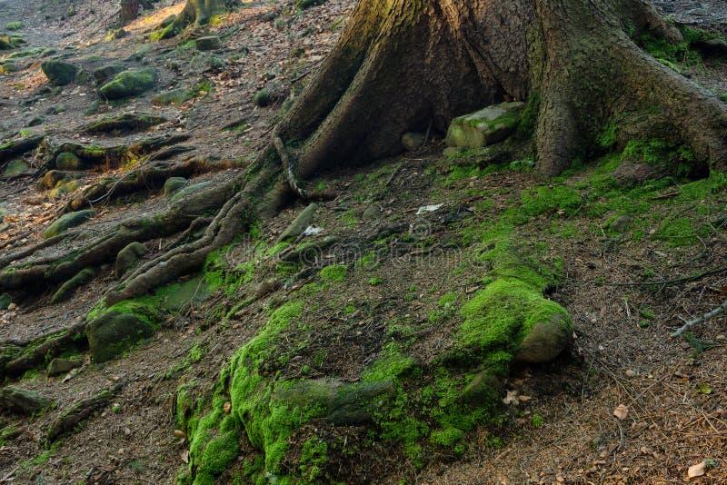 与根的生苔岩石 免版税库存图片