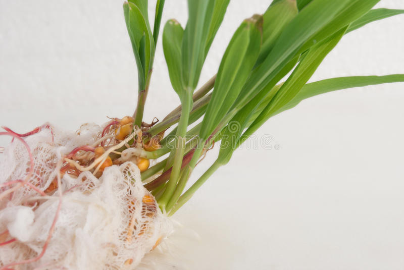 与根系统的发芽的谷核 在a的年轻绿色射击 免版税库存照片