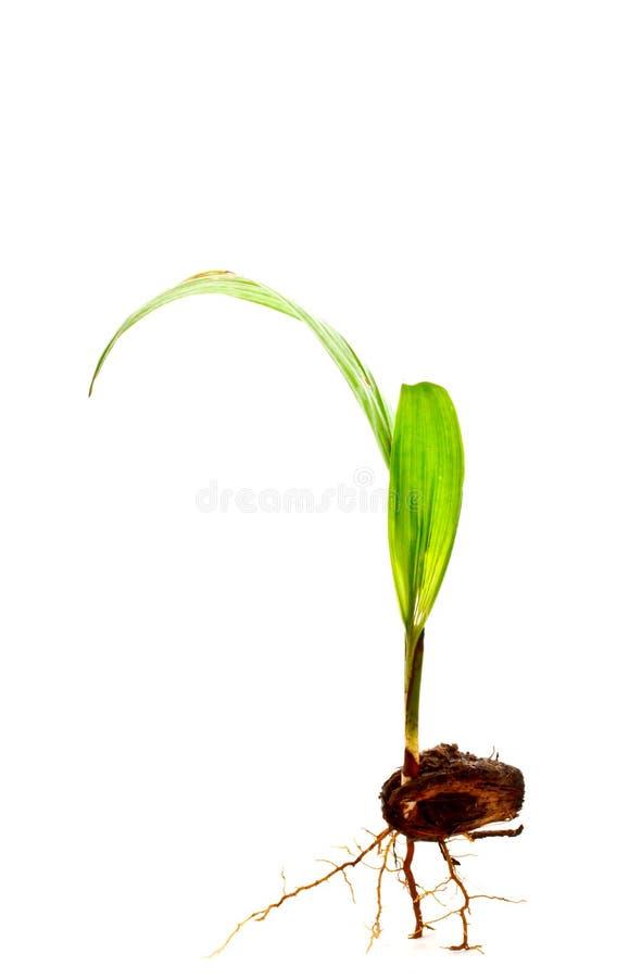 与根2的油棕榈树新芽 免版税库存图片